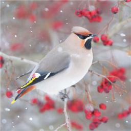 RSPB Small Square Christmas Card Pack - Berry Perch