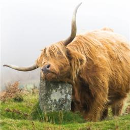 Countryside Collection Card - Highland Cow