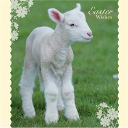 Easter Card Pack - Spring Lamb