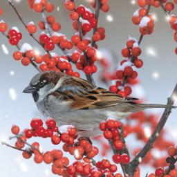 RSPB Small Square Christmas Card Pack - Snowy Sparrow