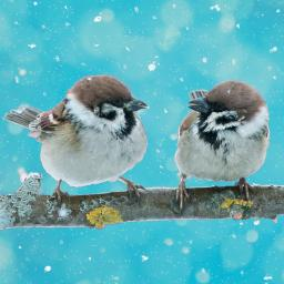 RSPB Small Square Christmas Card Pack - Sparkling Sparrows