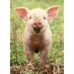 Animal Blank Card - Little Piglet