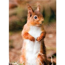 Animal Blank Card - Red Squirrel