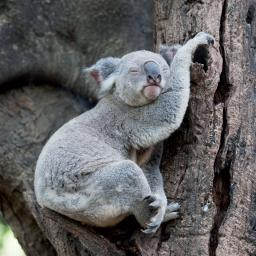 Caught On Camera Card Collection - Koala Nap Time