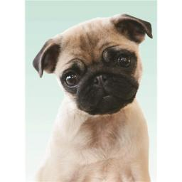 Animal Blank Card - Sweet Pug