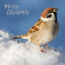 RSPB Small Square Christmas Card Pack - Christmas Sparrow