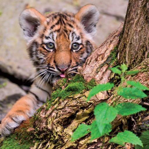 Caught On Camera Card Collection - Baby Tiger Ready To Pounce