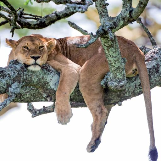 Caught On Camera Card Collection - Lion Afternoon Snooze