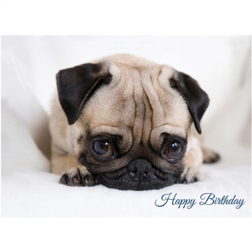 Animal Birthday Card - Surprised Pug