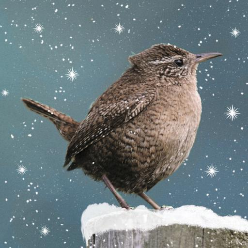RSPB Small Square Christmas Card Pack - Snowy Wren