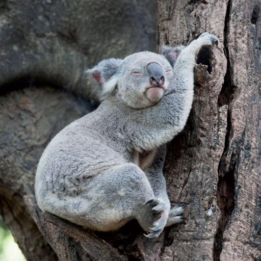 Caught On Camera Card Collection - Koala Nap Time