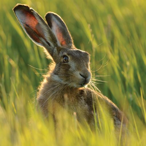 Countryside Collection Card - Hare In Long Grass
