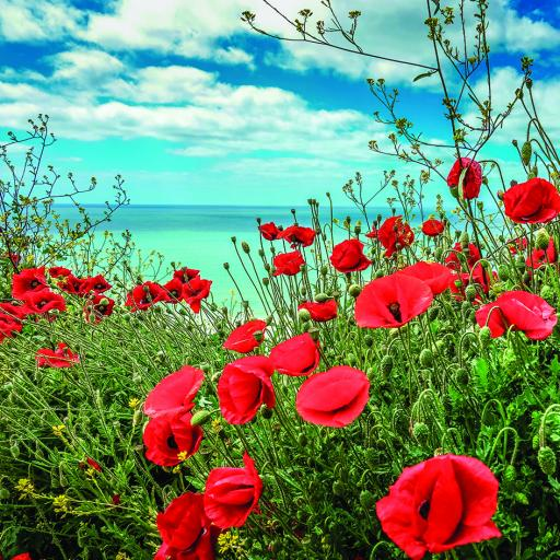 What On Earth (Plastic Free Cards) - Poppies In Cornwall