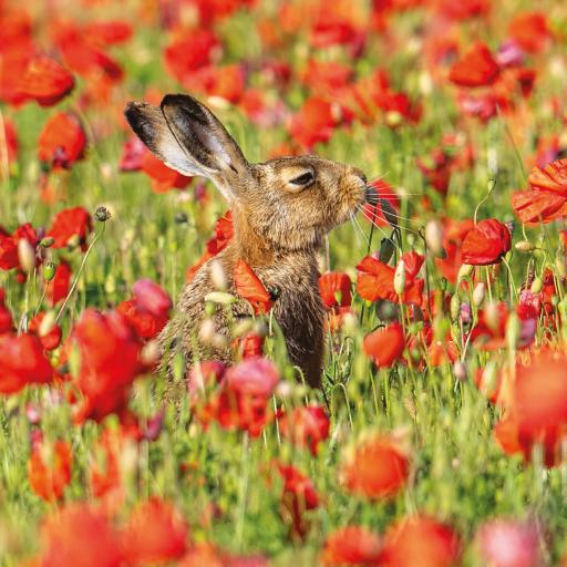 Countryside Collection Card - Hare & Poppies