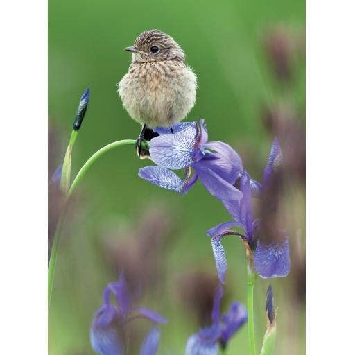 Beautiful Blanks Card - Bird On Iris