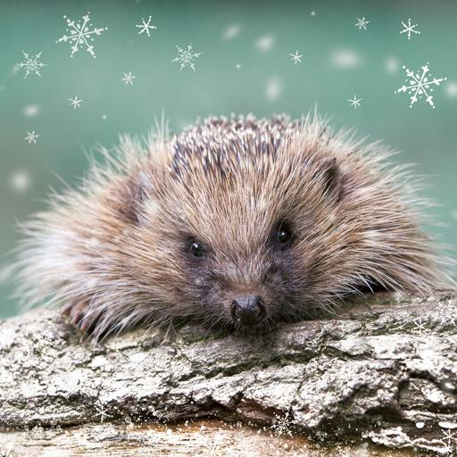 RSPB Small Square Christmas Card Pack - Little Hedgehog