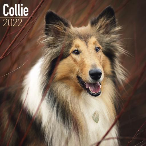 Collie Wall Calendar 2022