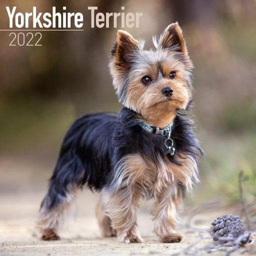 Yorkshire Terrier Wall Calendar 2022