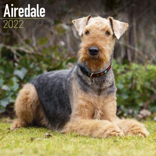 Airedale Terrier Wall Calendar 2022