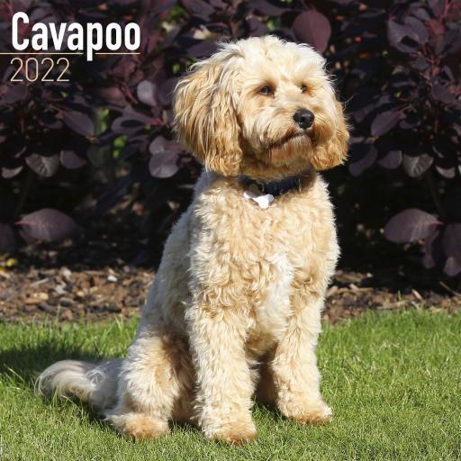 Cavapoo Wall Calendar 2022