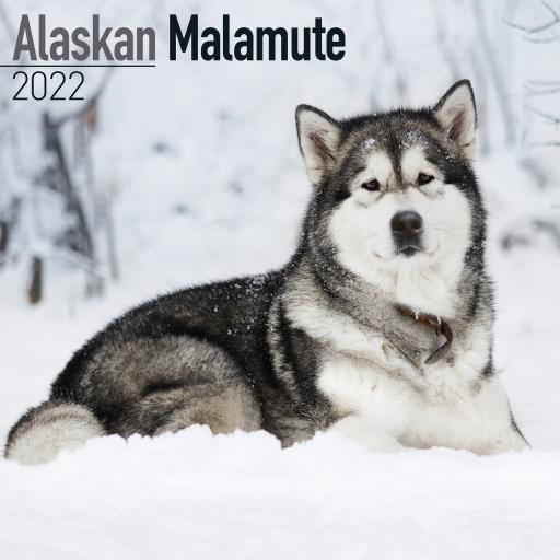 Alaskan Malamute Wall Calendar 2022