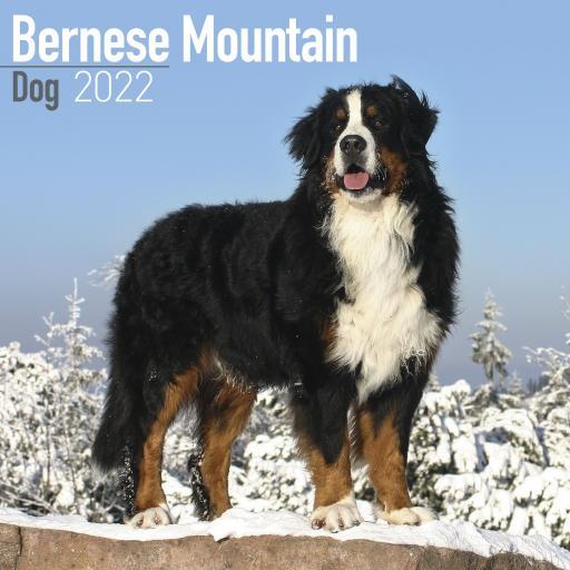 Bernese Mountain Dog Wall Calendar 2022