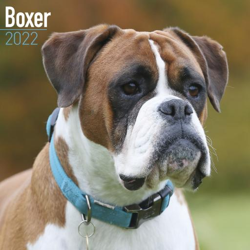 Boxer Wall Calendar 2022
