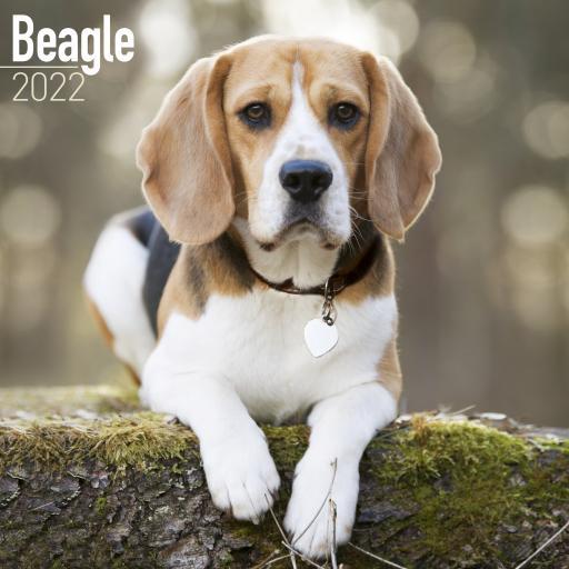 Beagle Wall Calendar 2022