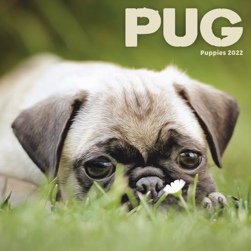 Pug Puppies Mini Wall Calendar 2022