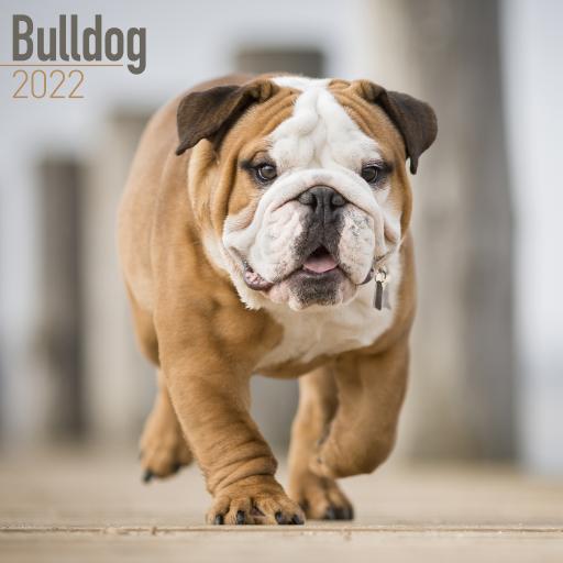 Bulldog Wall Calendar 2022