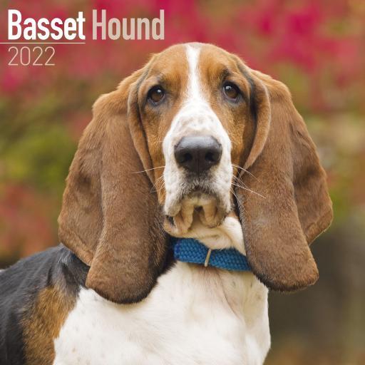 Basset Hound Wall Calendar 2022