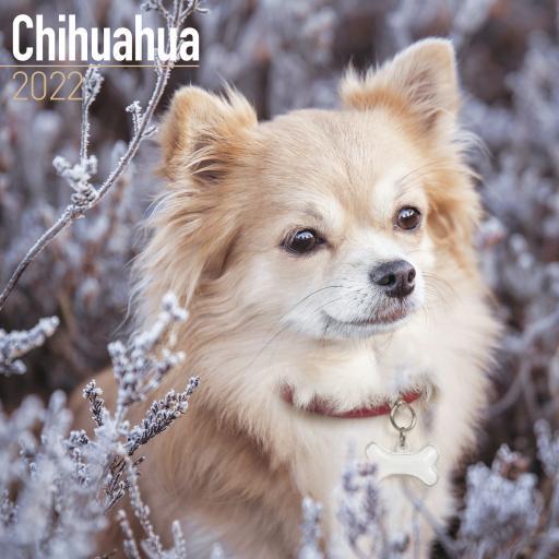 Chihuahua Wall Calendar 2022
