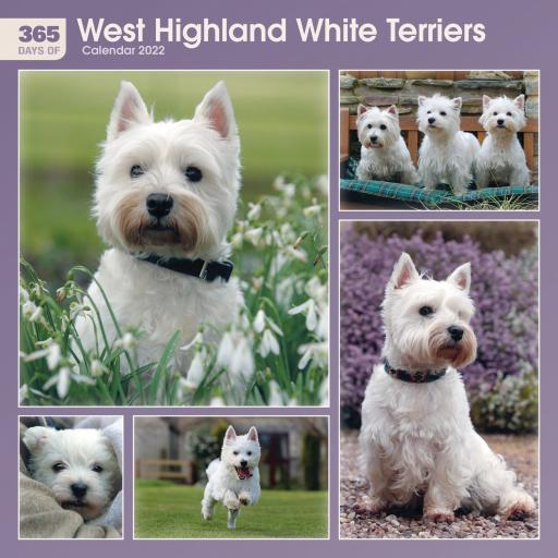 365 Days of West Highland White Terriers Wall Calendar 2022